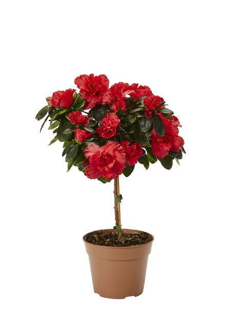 Asalea på stamme, Ø12 cm, Rød