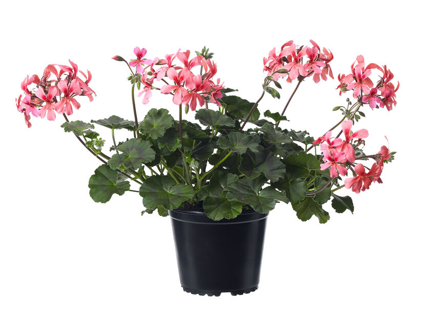 Pelargonia 'Caliente L Rose' 14 cm