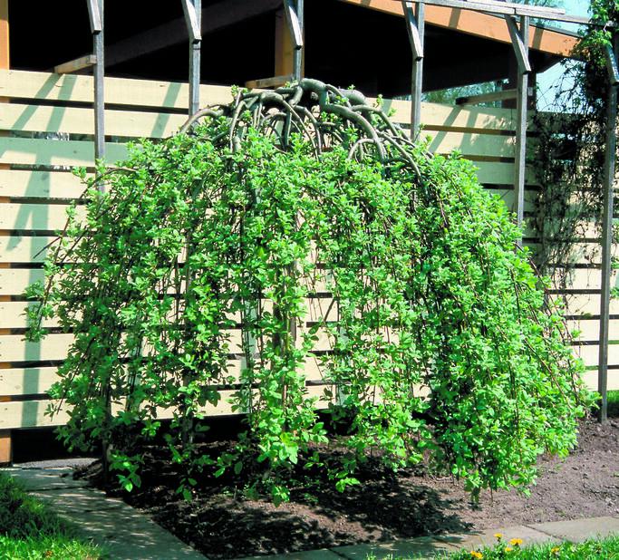 Hengeselje, Høyde 40 cm, Grønn