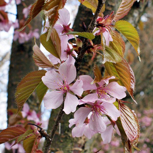 Sargentkirsebær 'Rancho', Høyde 250 cm, Grønn