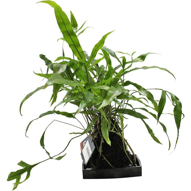 Lova grønnplante
