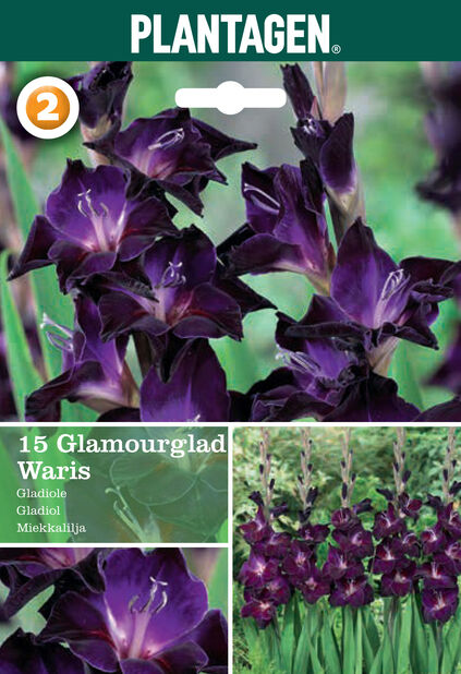 Gladiolus glamourglad Waris, Lilla