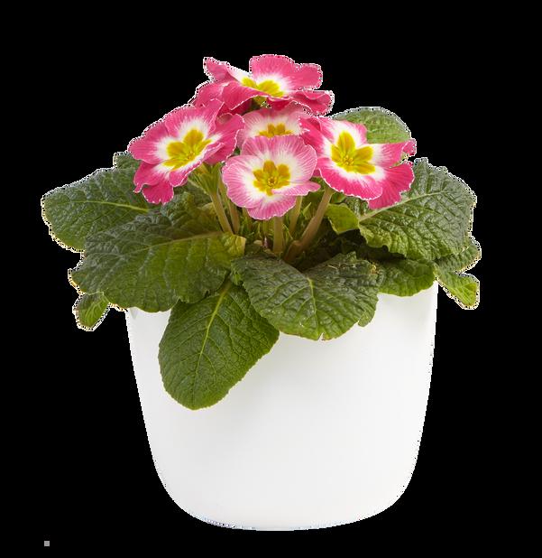 Primula vulgaris 10,5 cm