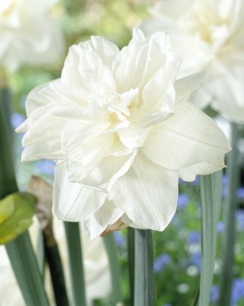 Narcissi 'White Medal', Hvit