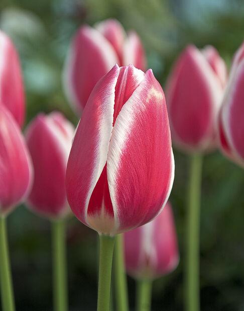 Tulipan 'Candy Apple Delight', Rosa