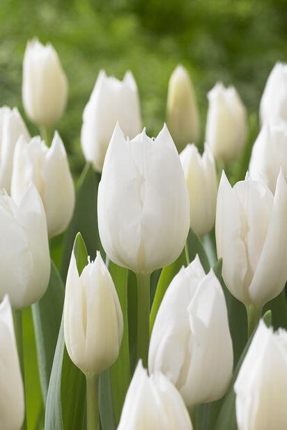 Tulipan 'Wildhof', Hvit