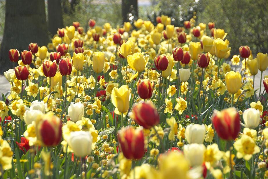 Tulipan 'Kees Nelis', Flere farger