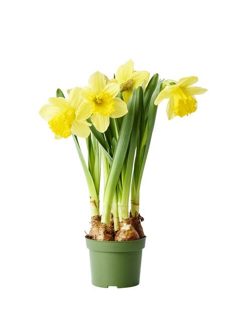 Narcissus 'Carlton' 13 cm