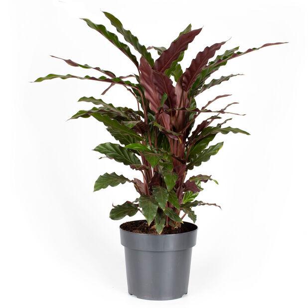 Calathea 'Rufibarba', Høyde 55 cm, Grønn