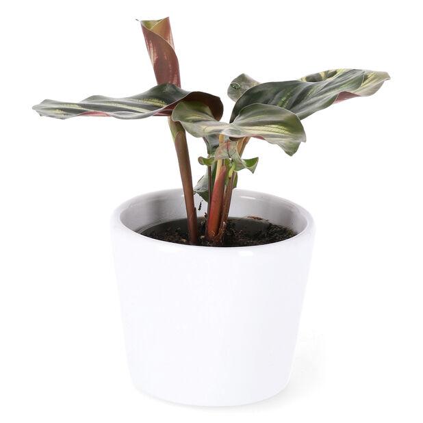 Calathea makoyana mini, Høyde 10 cm, Grønn