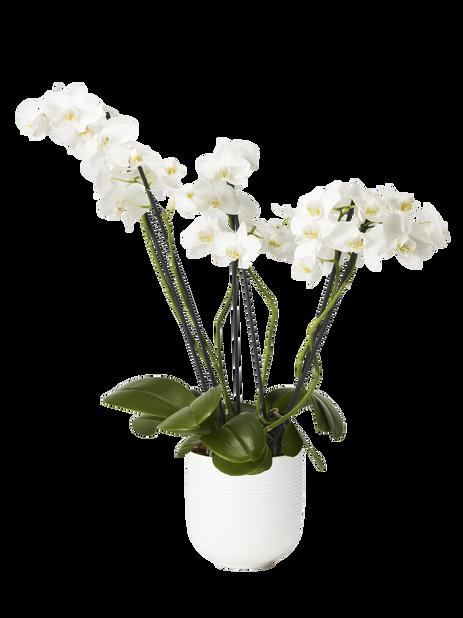 Brudeorkidé, tre stilker med +25 blomster