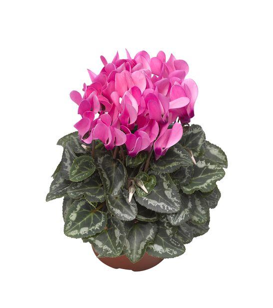 Alpefiol, Ø10.5 cm, Rosa