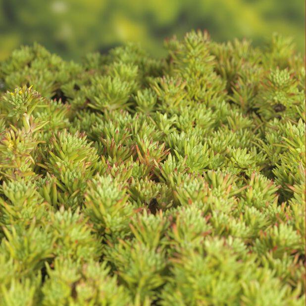 Sedum i mix sorter, Ø17 cm, Grønn