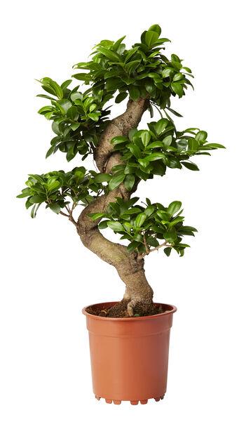 Bonsaifiken , Høyde 70 cm, Grønn