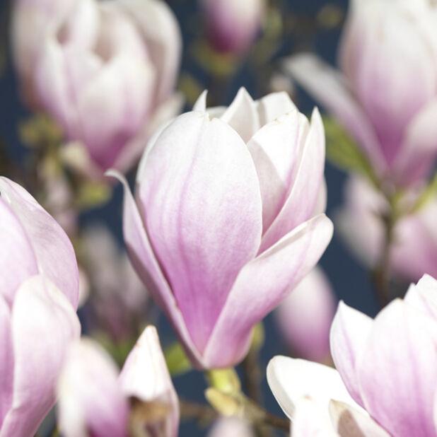 Magnolia 'Fragrant Cloud', Ø19 cm, Rosa