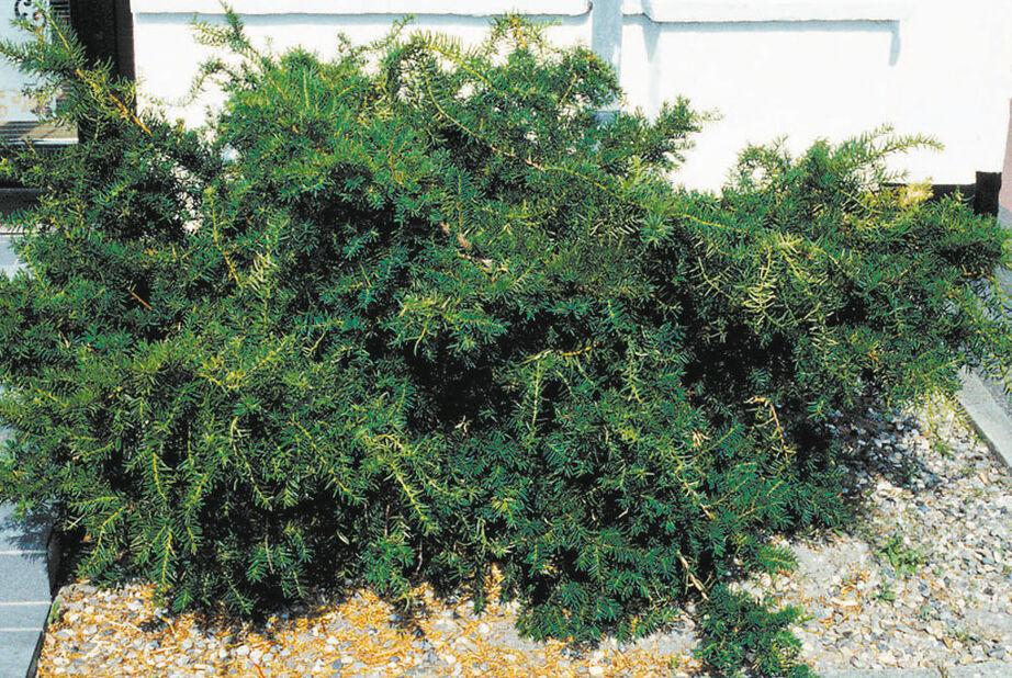 Krypbarlind, Høyde 25 cm, Grønn