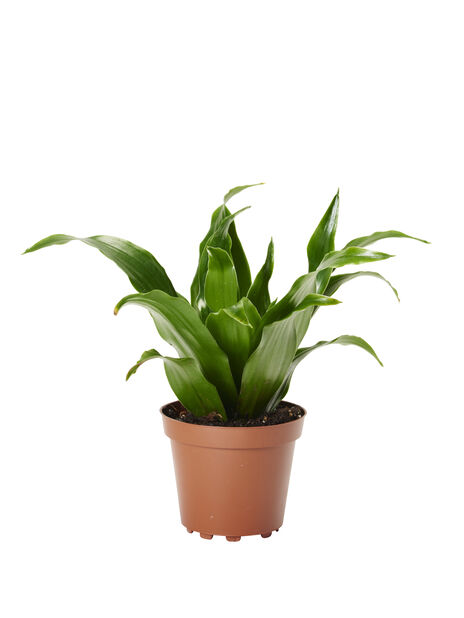 Dragetre mini, Høyde 10 cm, Grønn