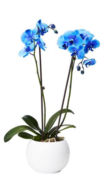 Orkidé, Høyde 60 cm, Blå