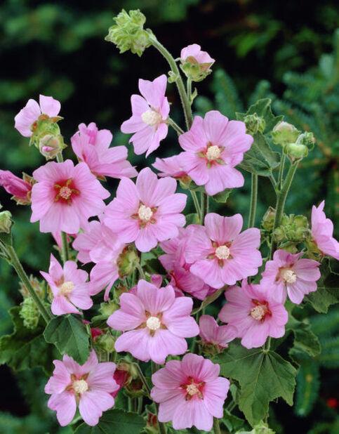 Poppelrose, Høyde 15 cm, Rosa
