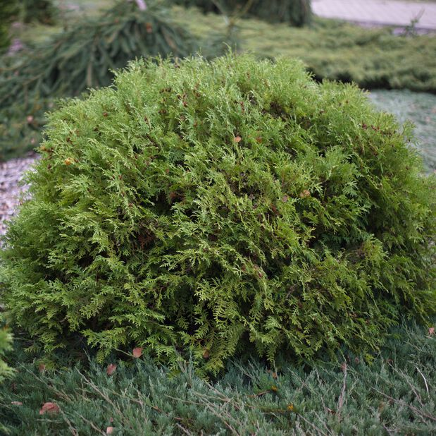 Tuja 'Woodwardii'    , Ø26 cm, Grønn