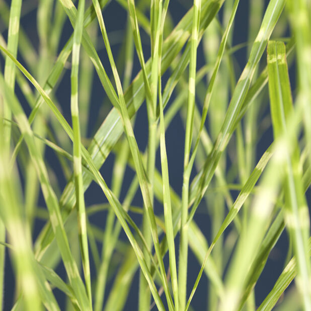 Silkekinagress 'Strictus Dwarf', Ø27 cm, Grønn