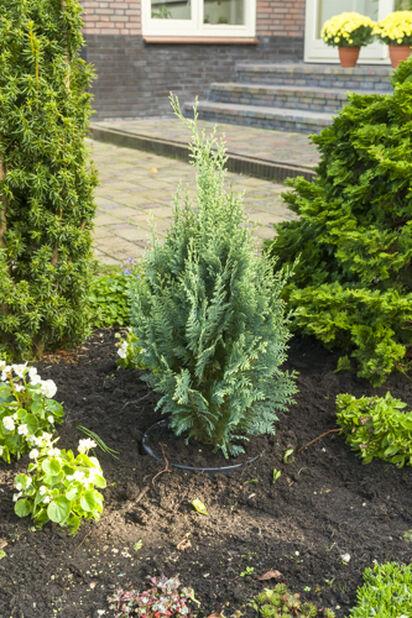 Lawsonsypress 'White Spot', Høyde 60 cm, Grønn