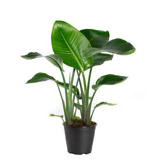 Strelitzia nicolai, Høyde 80 cm, Grønn