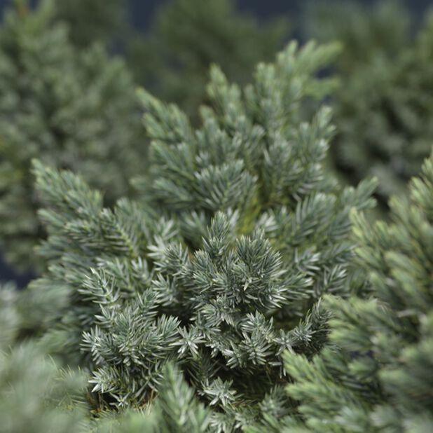 Himalayaeiner 'Blue Star', Ø22 cm, Grønn