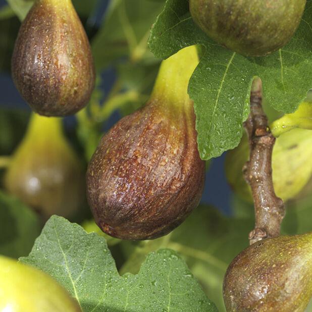 Ficus carica 'Bornholms Diamant' A-kval co 4,5L
