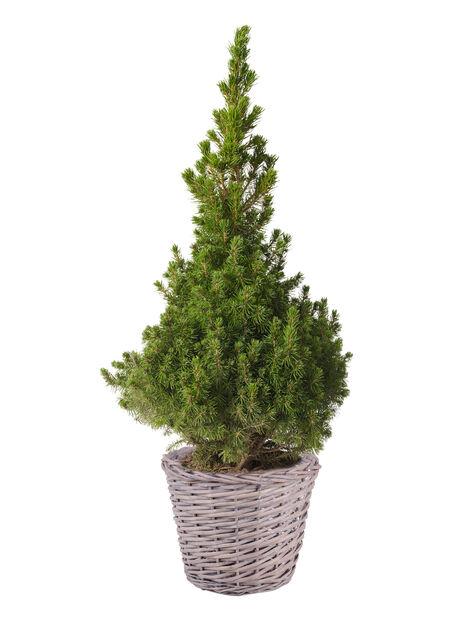 Kjeglegran, Høyde 70 cm, Grønn