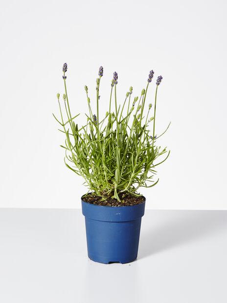 Lavendel. 'Felice' 10,5