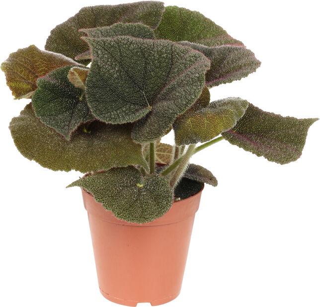 Begonia, Høyde 30 cm, Burgunder