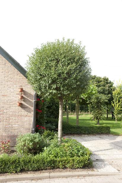 Prunus emin. 'Umbraculifera' 100 cm12L