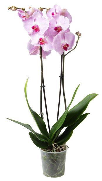Orkidé, Ø12 cm, Rosa