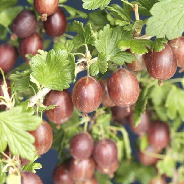 Ribes 'Hinomeaki Red', Ø22 cm, Grønn