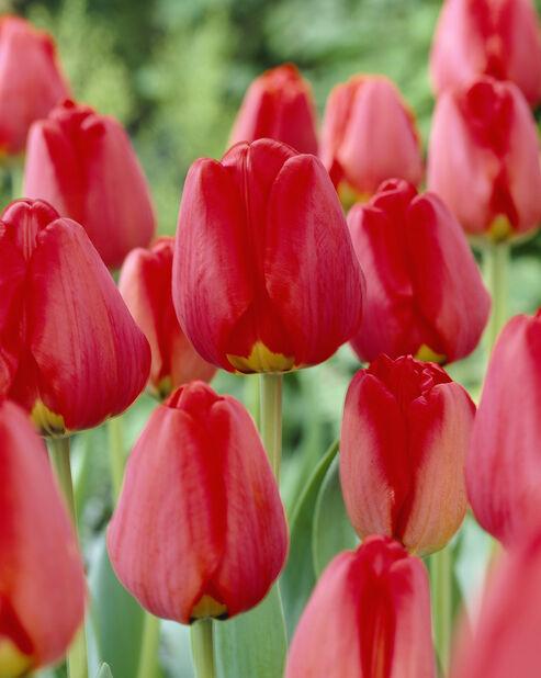 Tulipan 'Apeldoorn', Flere farger