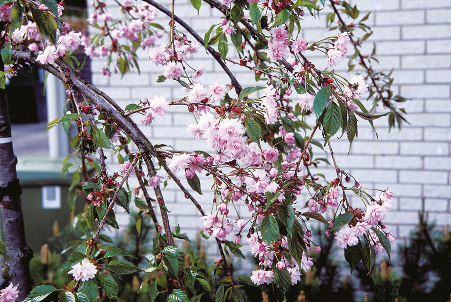 Prunus serrulata 'Kiku-shidare-zakura' oppstammet, Ø32 cm, Rosa