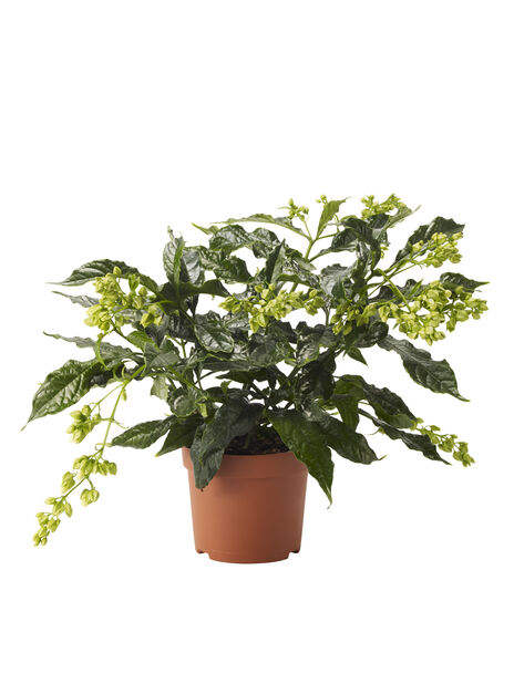 Clerodendrum wallichii 'Prospero' 13 cm
