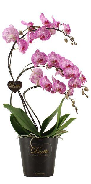 Orkide Duetto Swan, Høyde 50 cm, Hvit