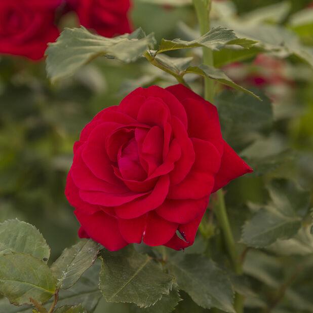 Klaserose 'Minha (Nina Weibull'), Ø19 cm, Rød