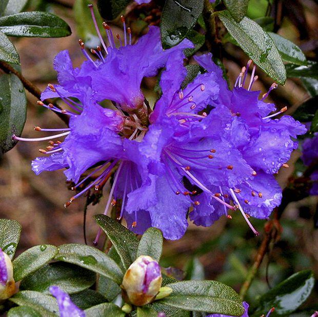 Rododendron 'Luisella', Ø17 cm, Blå