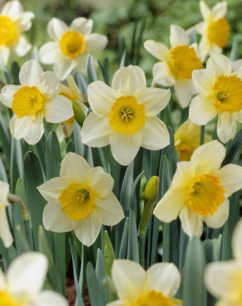 Narcissus 'Sempre Avanti', Flere farger