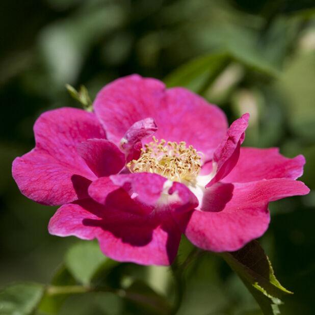 Klaserose 'Bee Friendly' pink, Ø19 cm, Rosa