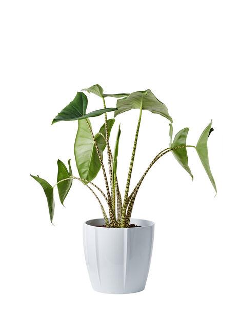 Alocasia 'Zebrina' 24 cm