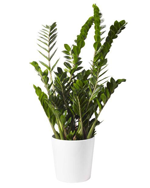 Zamioculcas 'Zamiofolia', Høyde 110 cm, Grønn