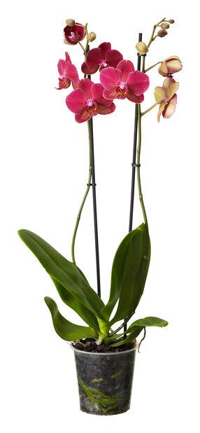 Brudeorkidé med +12 blomster