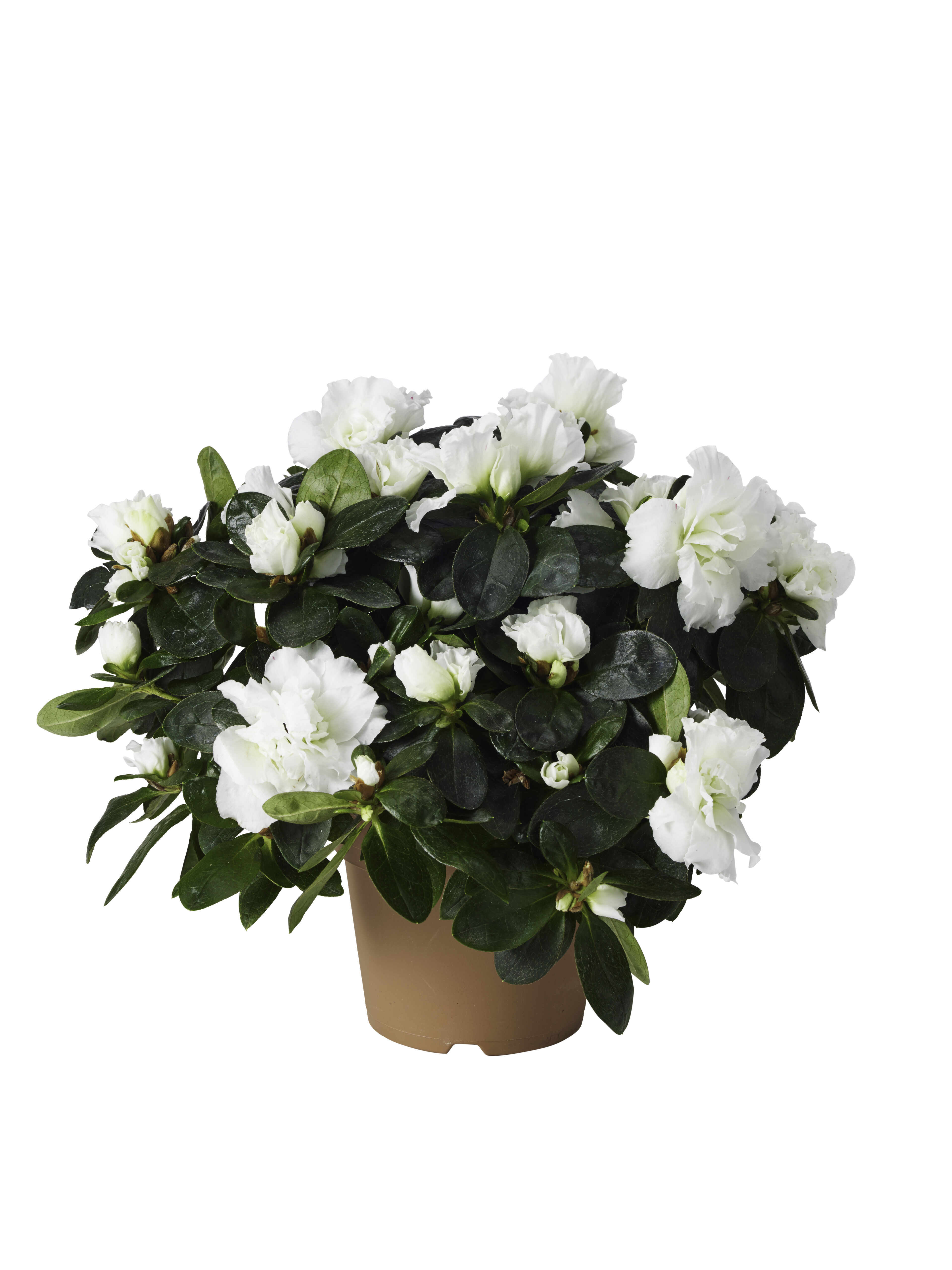 Gardenia Høyde 30 cm Hvit | Plantasjen