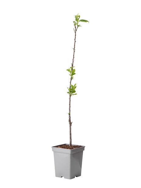 Prunus domestica Patio Column, Høyde 80 cm, Lilla