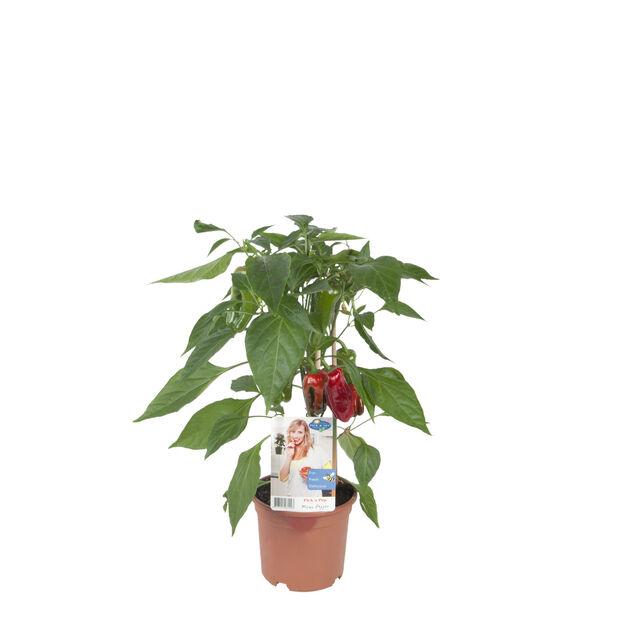 Snackpaprika, Ø14 cm, Rød