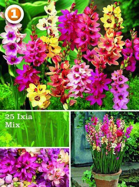 Miscellaneous Ixia mix, Flerfarget
